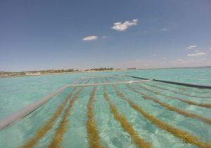 cultivo de algas de água quente